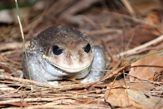 Adult Giant Burrowing Frog. Photo: Jayden Walsh