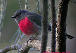 Rose Robin - Male