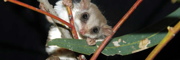 Feather-tailed glider sightings in Pittwater becoming more common