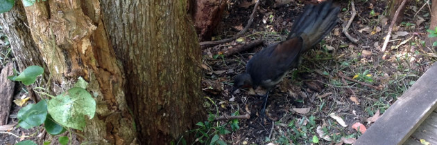 Lyrebirds spotted on the track to the Irrawong waterfall